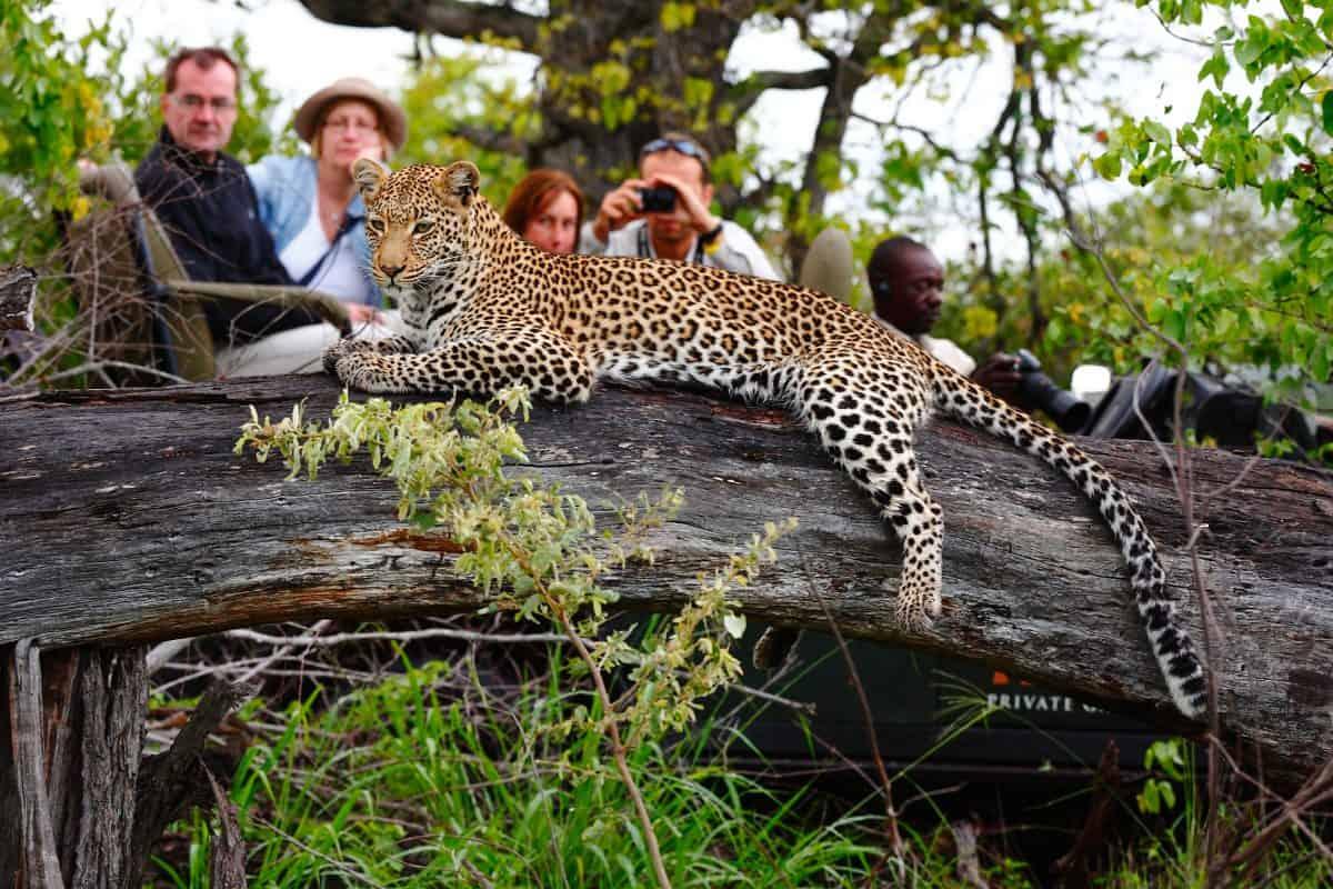 Motswari leopard 9