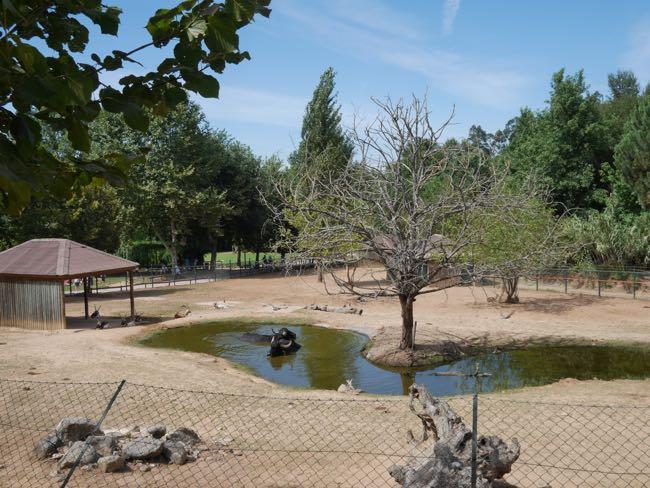 Waterbuffels in het water, zie je niet vaak in een dierentuin...