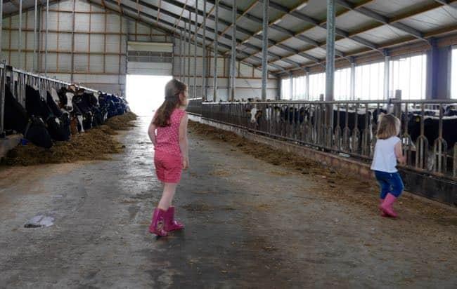 Deze koeien hebben het prima voor elkaar.
