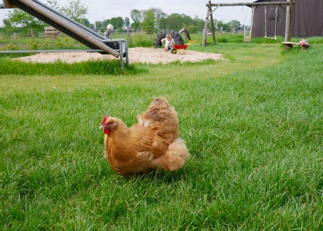 De kippen hebben het top hier!