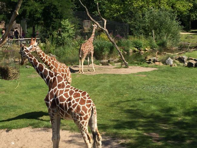 Leuk, op ooghoogte van giraffen lopen.
